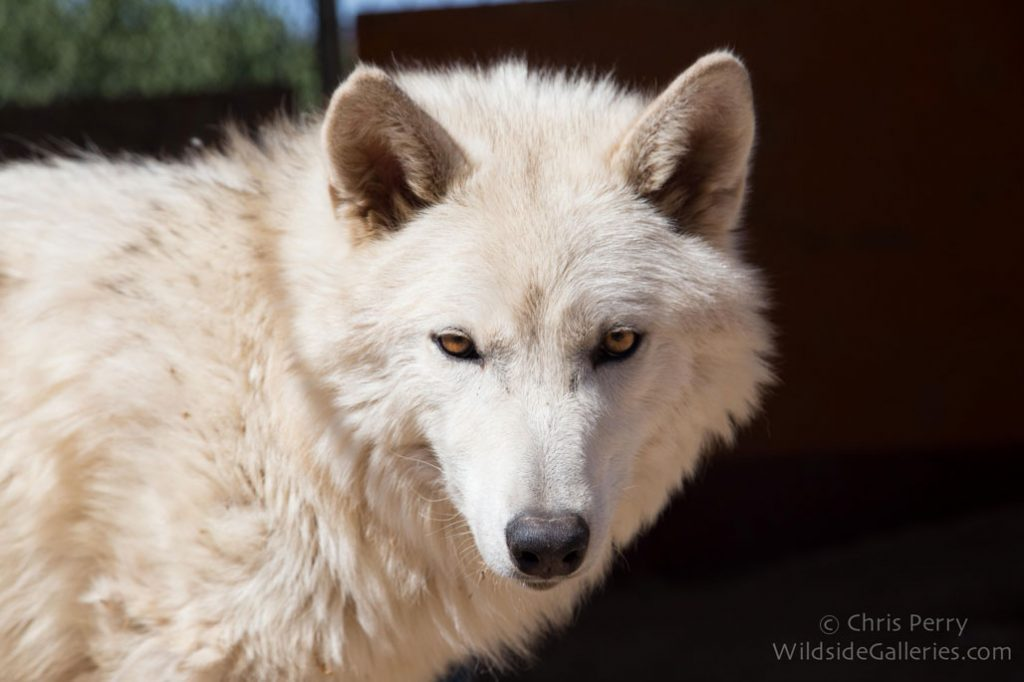 Charlee, one of the wolf-dogs at Wolf Connection